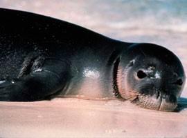 Monk Seal pic for Kehaulani Watson Feature