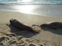 monk-seals-on-beach.jpg